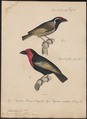 Pogonorhynchus abyssinicus - 1835 - Print - Iconographia Zoologica - Special Collections University of Amsterdam - UBA01 IZ18800011.tif