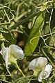 Pois d'hiver FRESNEL (précoce,jaune) Agri-Obtentions-17-cliche Jean Weber (23788158840).jpg