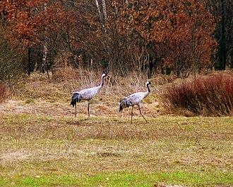 Kampinos National Park - Image: Poland Kampinos Grus grus 1