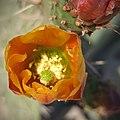 Polen de nopal (Opuntia sp.).jpg