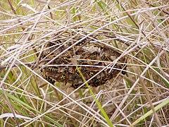 Polistes gallicus nest.jpg
