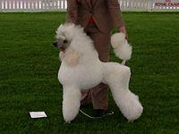 Poodle, white standard 04.jpg