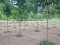 Poplar Plantation - panoramio (6).jpg