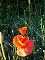 Poppies and forgetmenots - geograph.org.uk - 188536.jpg