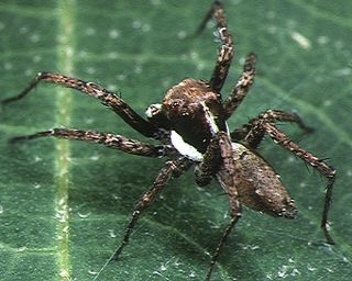<i>Portia</i> (spider) genus of arachnids