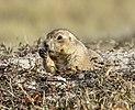 Prairie dog Theodore Roosevelt NP ND1.jpg