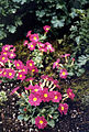 Primula x pruhonicensis 'Wanda' 1.jpg