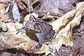 Proceratophrys boiei01.jpg