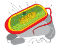 Prokaryote cell diagram international.svg