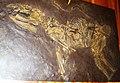 Propalaeothreium hassiacum 43.jpg