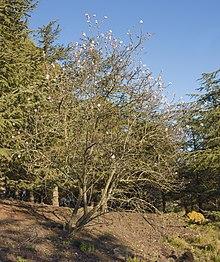 Una Prunus domestica coi primi fiori, qui alla fine di febbraio