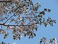 Prunus incisa 02.JPG