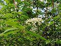 Prunus padus20100507 137.jpg