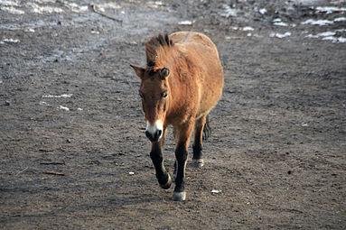 Przewalski-Pferd (Equus ferus przewalskii) Zoo Salzburg 2014 b.jpg