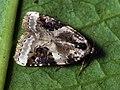 Pseudeustrotia candidula - Shining marbled - Совка-листовёртка буро-серая (26259617187).jpg