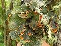 Pseudocyphellaria hirsuta (Mont.) Malme 41322.jpg