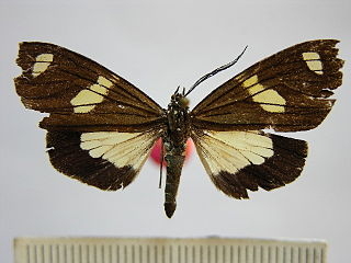 <i>Pseudophaloe</i> Genus of moths