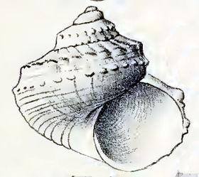 Pseudostomatella erythrocoma 001.jpg