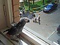Psittacus erithacus -pet looking out of window-8a.jpg