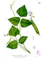 Psophocarpus tetragonolobus Blanco2.293.png