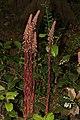 Pterospora andromedea 0472.JPG