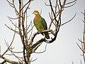 Ptilinopus perlatus -Papua New Guinea-8.jpg