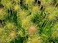 Pulsatilla vulgaris (detail), Tower Hill Botanic Garden.JPG