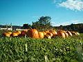Pumpkins Hancock Shaker village 2417.jpg