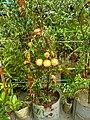 Punica granatum, Bangladesh. 4( Bangla - ডালিম).jpg