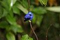 Purple Honeycreeper (Cyanerpes caeruleus) (4090163534).jpg