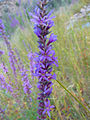 Purple loosestrife at Cotter River, ACT.jpg
