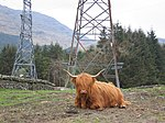 File:Pylons and Highland Cow - geograph.org.uk - 440936.jpg