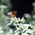 Pyronia tithonus (Buskgräsfjäril) på Gråmynta. Mentha longifolia -1314 - Flickr - Ragnhild & Neil Crawford.jpg