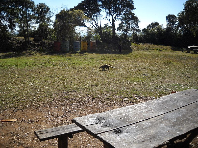 File:Quatís at the Tronqueira^ - panoramio (2).jpg