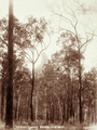 Queensland State Archives 5109 Coonowrin Crookneck Looking east from Blackall Rd c 1894.png
