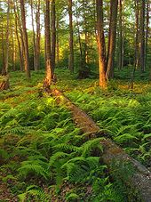 A fallen tree lies in green ferns with sunlit dappled trees behind