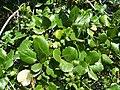 Quercus agrifolia-2.jpg