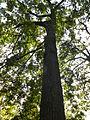 Quercus cerris-arbre-Jardin des plantes.JPG
