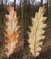 Quercus cerris sl4.jpg