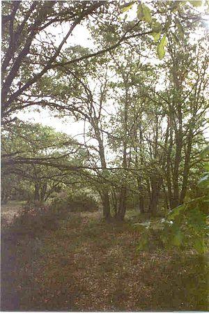 Quejigar (Quercus faginea)