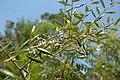 Quercus geminata (24107624541).jpg