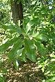 Quercus imbricaria kz01.jpg
