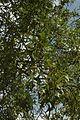 Quercus laevis (24036717902).jpg
