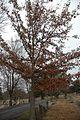 Quercus oglethorpensis (24136166601).jpg