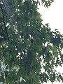 Quercus rubra (Red Oak) C33-2.jpg