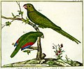 Réunion Parakeet.jpg