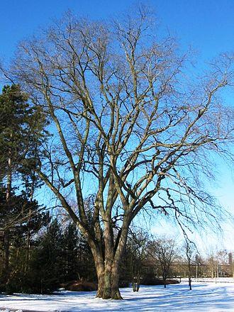 Ulmus glabra - Wych elm