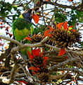 Rainbow lorikeet on a tree in Perth.jpg