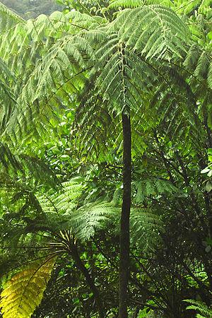 Tree fern - Image: Rainforest near Belle Dominica
