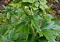 Ranunculus lanuginosus 2017-04-30 9108.jpg